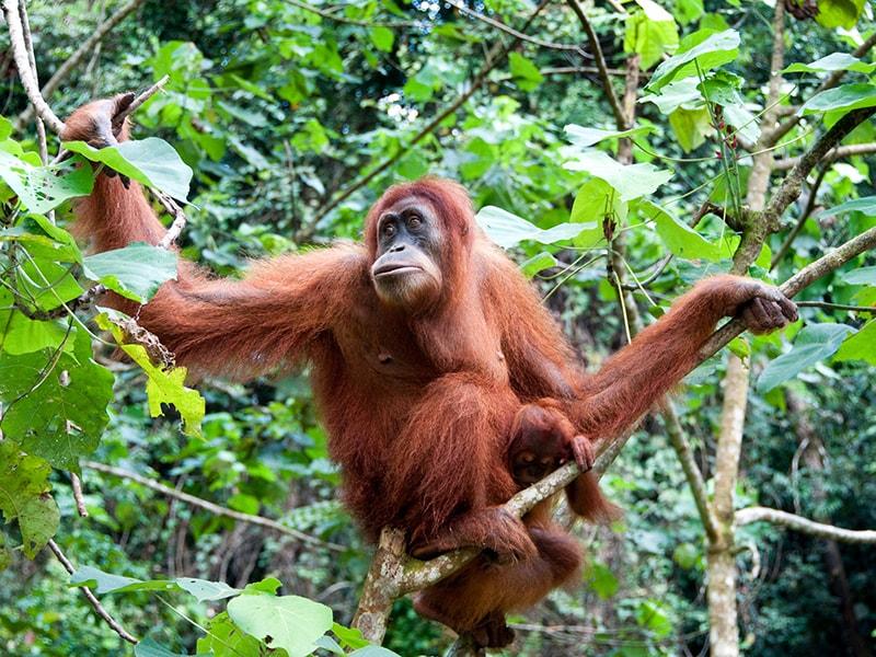 Indonesia. Contemplar orangutanes de la selva de Borneo