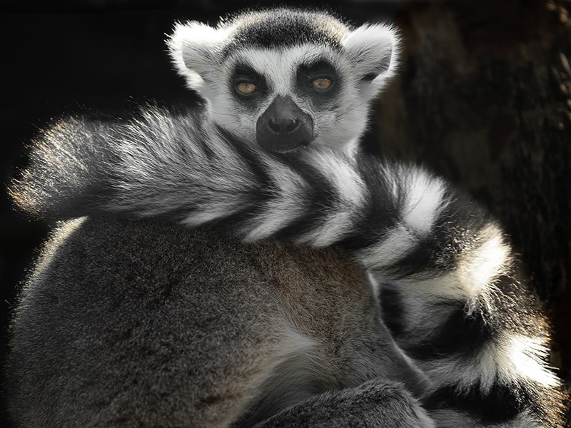 Madagascar. Aprender a distinguir entre todas las especies de lémures