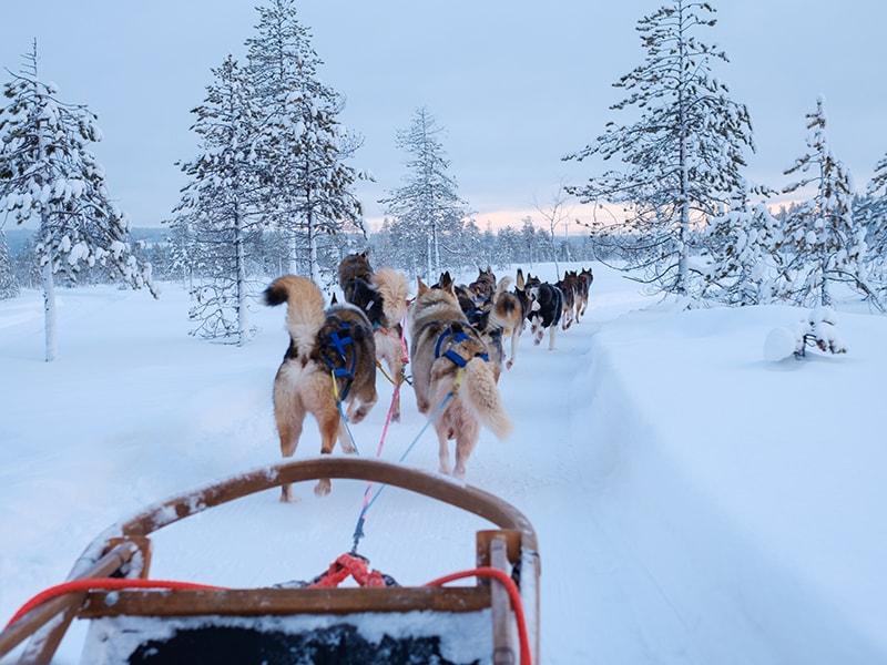 Finlandia. Paseo en trineo tirado por huskies